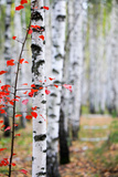 Birch Trees Photographic Print by  ivirina