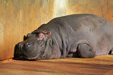 Hippopotamus Resting on Land Posters by  ooaco