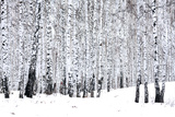 Birch Forest in Winter Photographic Print by  Nobilior