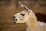 White Llama Head Shot Profile Laughing Photographic Print by  photobyjimshane
