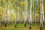 Evening Autumn Birch Forest in Sunlight Photographic Print by Elena Kovaleva