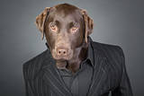 Cool Looking Chocolate Labrador in Pinstripe Suit Photographic Print by  JPagetRFphotos