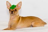 Chihuahua with Clover on Head. Posters by  photorebelle
