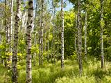 Spring Forest Photographic Print by Nataliya Dvukhimenna