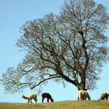 Alpacas Fotografisk tryk af david harding