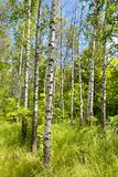 Birch Forest Photographic Print by Nataliya Dvukhimenna