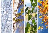 Birch Tree and Foliage at Different times of Year. ollage Photographic Print by  katvic