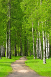 Birch Trees Photographic Print by  voltan