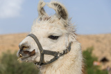 Lama Photographic Print by  LevT