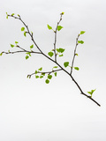 Spring of Birch Blooming Leaves on a White Background Papier Photo par  svn48