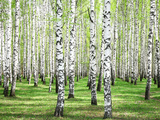 First Spring Greens in Birch Grove Photographic Print by Elena Kovaleva