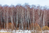 Birch Forest with Snow at Winter Photographic Print by Rostislav Ageev
