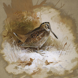 A Woodcock Giclee Print by Archibald Thorburn