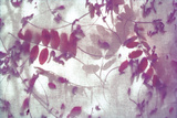 Purple Robinia Giclee Print by Jo Crowther