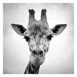 Giraffe Pôsters