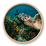 Hawksbill Turtle Foraging on Sponges and Soft Corals...Shot in Indonesia Clock by Jeff Yonover