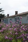 Maison de Georges Clemenceau, jardin, mauve royale en fleurs Photographic Print by Colombe Clier