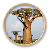 Giant Baobabs (Adansonia Grandidieri) Dotting the Countryside Near Morondava Clock by Karl Lehmann