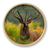 Red Deer (Cervus Elaphus) Dominant Stag Amongst Bracken, Bradgate Park, Leicestershire, England, UK Clock by Danny Green