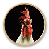 Domestic Chicken, White Leghorn Cockerel Crowing Clock by Jane Burton