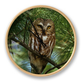 Northern Saw-Whet Owl (Aegolius Acadius) in a White Pine (Pinus Strobus), North America Clock by Steve Maslowski