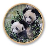 Three Subadult Giant Pandas Feeding on Bamboo Wolong Nature Reserve, China Ur af Eric Baccega