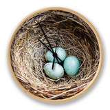 Nest and Eggs of Common Blackbird (Turdus Merula) Clock by Grant Dixon