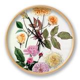Rosa Alister Stella Gray, Rosa Blush Noisette, Rosa Celine Forestier Clock by Graham Stuart Thomas