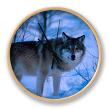 European Grey Wolf Male in Snow, C Norway Clock by Asgeir Helgestad