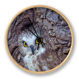 Northern Saw-Whet Owl in a Tree Hollow (Aegolius Acadius), North America Clock by Tom Ulrich
