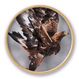 Golden Eagle (Aquila Chrysaetos) Taking Off, Flatanger, Norway, November 2008 Ur af Widstrand