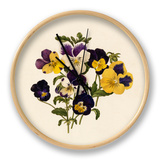 Viola tricolor Clock by Caroline Maria Applebee