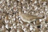Willet with Shell in its Bill Surrounded by Western Sandpipers Photographic Print by Hal Beral