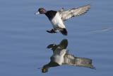 Lesser Scaup Drakes Landing Photographic Print by Hal Beral