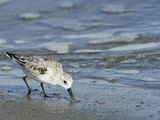 Sanderling Photographic Print by Gary Carter