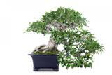 Bonsai Ficus Photographic Print by Fabio Petroni