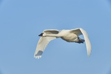 Tundra Swan Impressão fotográfica por Gary Carter