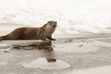 Wild Otter (Lutra Lutra) on the Frozen Lake, Bayerischer Wald National Park , Germania, Germany Photographic Print by Gabriele Bano
