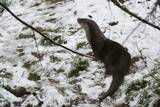 European Otter (Lutra Lutra), Bavarian Forest National Park. Photographic Print by Sergio Pitamitz