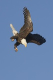 Bald Eagle Dives with Talons Out Photographic Print by Hal Beral