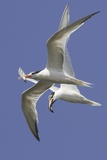 Elegnat Terns in Flight with Fish in their Bills Reproduction photographique par Hal Beral