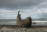 Southern Elephant Seal Photographic Print by Joe McDonald
