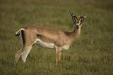 Grant's Gazelle Heart-Shaped Horns Photographic Print by Joe McDonald