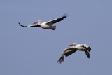 Pair of American White Pelicans in Flight Photographic Print by Hal Beral