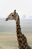 Giraffe Photographic Print by Sergio Pitamitz