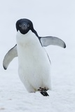Adelie Penguin Photographic Print by Joe McDonald