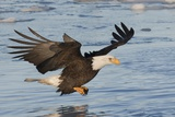 Bald Eagle Fishing Photographic Print by Hal Beral