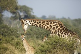 Giraffe Male and Calf Photographic Print by Richard Du Toit