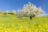 Cherry Orchard in Bloom Photographic Print by Frank Lukasseck