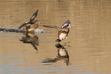 Pair of American Wigeons Landing Photographic Print by Hal Beral
